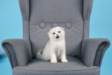 White fold Scottish breed kitten with open mouth in a gray armchair in a photo studio
