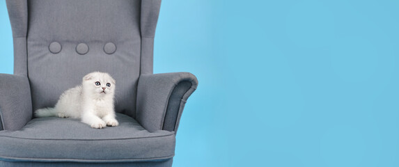 White fold Scottish breed kitten lies in a grey chair and looks carefully away, a Studio photo on a blue background with a copy space