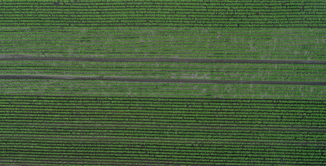 Aerial view of beetroot field and traces of the tractor