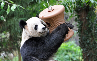 Poster Panda Funny panda hugged a bird_s nest