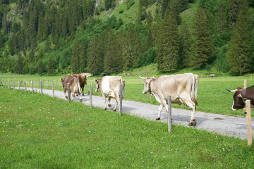 Cow herd in a valley comming down from the mountain in bavaria Wall mural