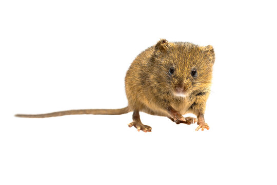 Cute harvest mouse isolated on white background