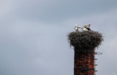 A stork stands with three of his breed in a nest on a former smokestack in Lommatzsch