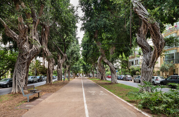 Old ficus trees on boulevard  Chen in Tel Aviv.