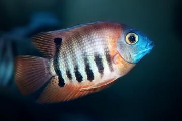 Red Shoulder Severum Heros efasciatus fish from Amazon