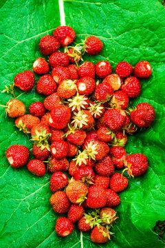 Erdbeeren auf großem Blatt gesammelt