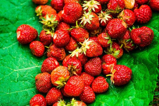 Wilde Erdbeeren Sammeln