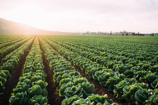 Lettuce field in Cartagena,intensive farming. Spain