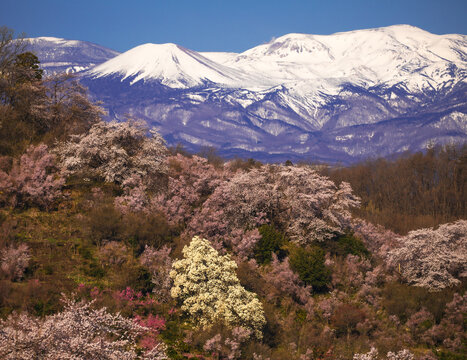 花見山公園の満開の桜とこぶしの花と雪に覆われた吾妻連邦