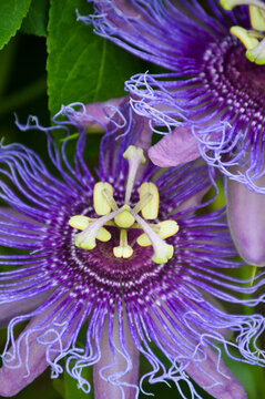 purple passionflower (maypop)