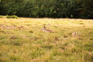 Group of deers