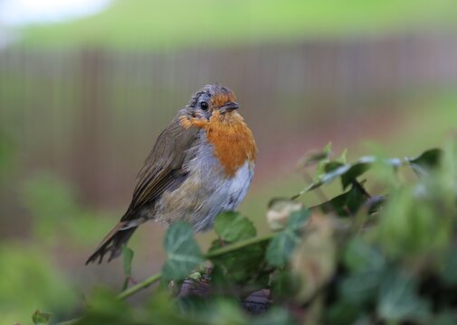A closeup picture of a European Robin known as the Robin Redbreast.