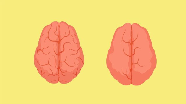 Structure of smart human brain and stupid. Two red crinkle brains one densely covered convolutions second there are almost none anatomical biology creative vector people limited clipart.