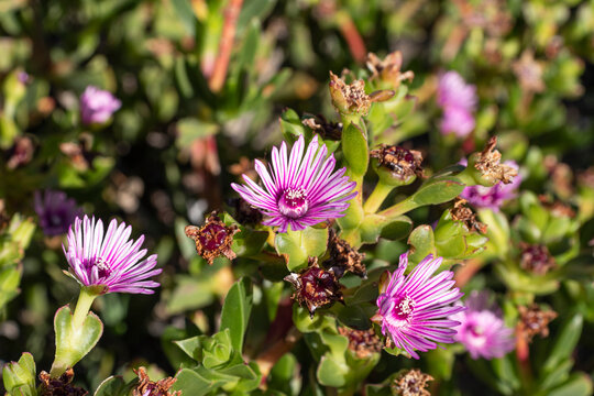 Bright pink flowers of ruschia succulent plant.