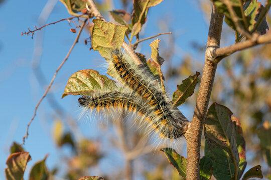 Closeup of caterpillars of the lappet moth Bombycomorpha pallida.