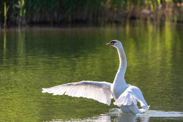 Big white swan flaps its wings swimming in the calm water