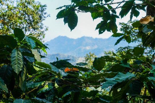 View from coffee plantation in Minca - Farm coffee plantation in Colombia - Cafe culture Colombia-