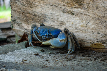Close up on the blue land crabs in Colombia live in burrows, and eat primarily leaves and other vegetation.