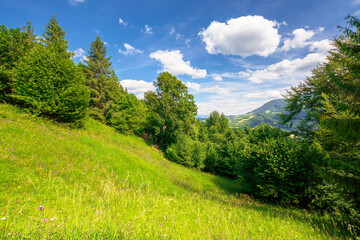 Wall Mural - summer mountain landscape. trees on the green grassy hill. puffy clouds on the blue sky. idyllic scenery. view in to the distant valley on a sunny day