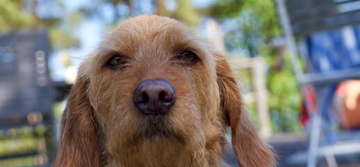 Close up of the face of a sweet Basset fauve de bretagne