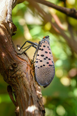 Vertical image of adult spotted lanternfly (Lycorma delicatula) in mid-September (Bucks County, PA)