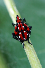 Vertical image of fourth-instar stage of spotted lanternfly (Lycorma delicatula) in mid-July (Bucks County, PA)