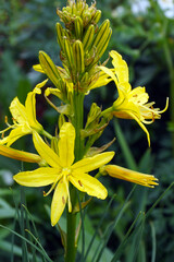 Vertical closeup of the yellow flowers of yellow asphodel (Asphodeline lutea), also known as Jacob's rod or king's spear