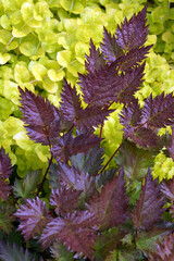 Vertical closeup of the burgundy young foliage of 'Delft Lace' astilbe (Astilbe 'Delft Lace')