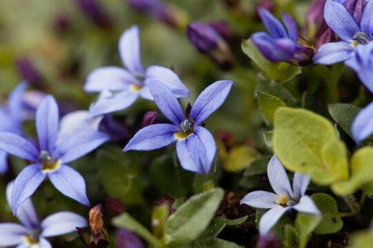Blue Star Flower, Isotoma fluviatilis