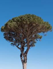 Umbrella Pine, aka Umbrella Tree, on the Isle of Capri, Italy