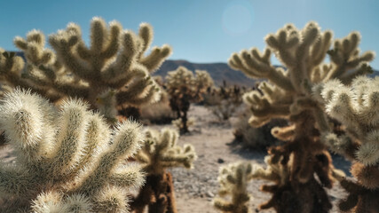 nature background. cholla cactus oasis in Joshua Tree National Park dessert.