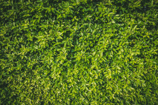 Wall full green leaf topical plants for background use.