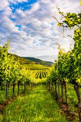 vineyard in germany, palatinate
