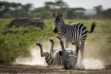 Papiers peints Zebra One of two zebras lying on her back with legs up having a dust b
