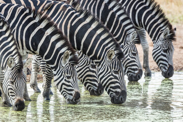 Printed kitchen splashbacks Zebra Close up on a zebra herd drinking water from a dam in Kruger Park