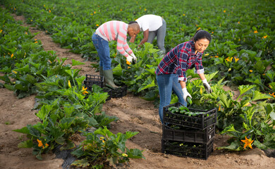 Farmers work on field - harvesting zucchini
