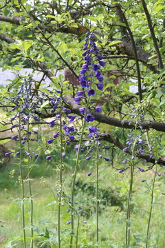 Delphinium is a perennial flower in the garden
