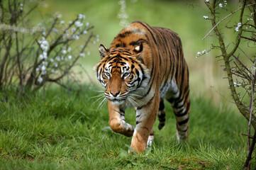Photo sur Toile Tigre TIGRE DE SUMATRA panthera tigris sumatrae