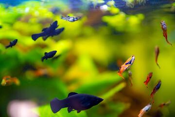 Aquariumfische - Black Molly und Endler Guppie