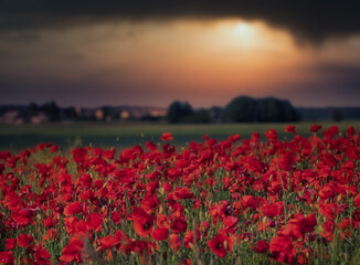 Printed roller blinds Bordeaux poppy field at sunset