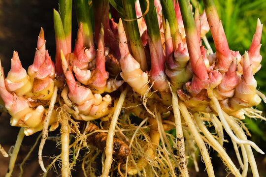 closeup of fresh ginger (zingiber officinale) roots harvested from organic field.
