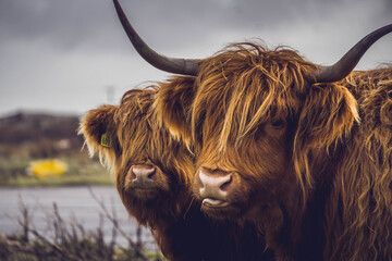 Highland cow and her baby, Isle of Mull, Scotland.
