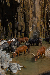 Longhorn cattle drinking water