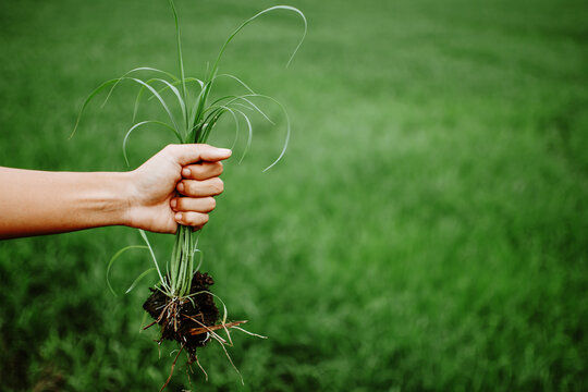 A hand holding a clump of fresh grass above a rice paddy. Farmer hands pulling grass with root and soil up from ground. Plucking weeds.