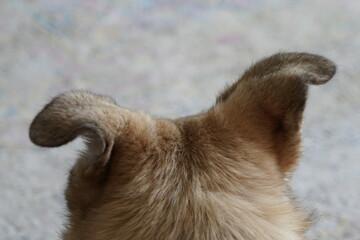 Hundeohr