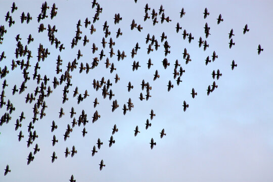 A flock of starlings in flight creating shapes in the sky