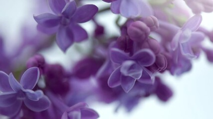 Fotoväggar - Lilac flowers bunch on white background. Beautiful opening violet Lilac flower Easter design closeup. Beauty fragrant tiny flowers open closeup. Nature blooming macro flowers backdrop. Time lapse 4K