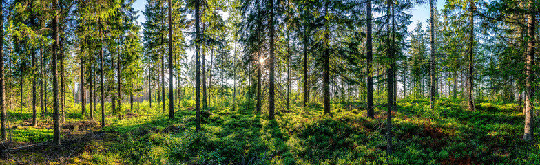 Wall Murals Beautiful panorama view from inside of Swedish forest through green forest trees under Sun rays. Scenic background picture of Scandinavian summer nature.