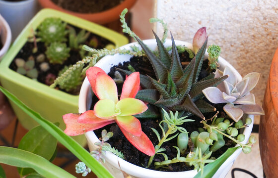 Variety of small and tiny succulent plants in white pot. High quality photo