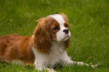 Cavalier King Charles Spaniel Lying in Grass